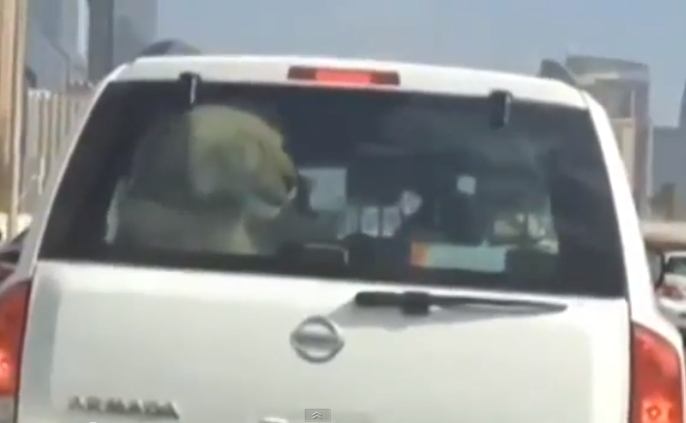 Lion Locked in Back of a Car in Dubai